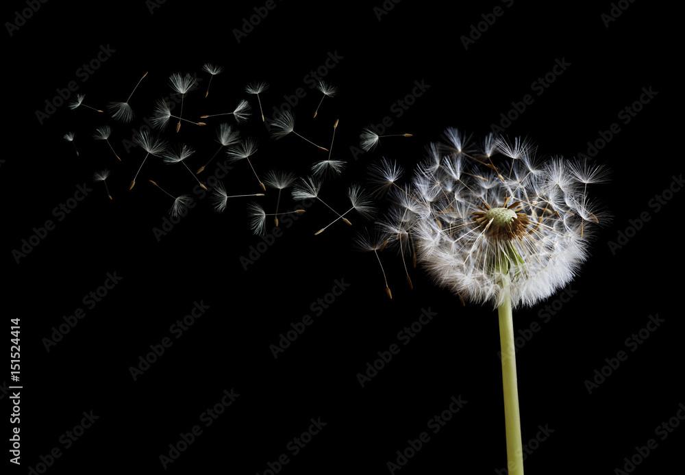 Fototapety, obrazy: Dandelion seeds in the wind on black background
