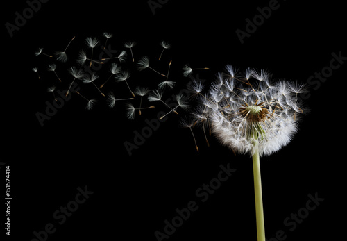 Poster Paardenbloem Dandelion seeds in the wind on black background