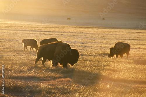 Bison herd near Hartsel, Colorado