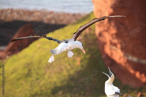 Pinturas sobre lienzo  Black-browed Albatros ( Thalassarche melanophris ) or Mollymawk Helgoland Island