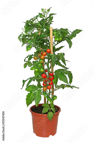 Pied de tomates cocktail en pot
