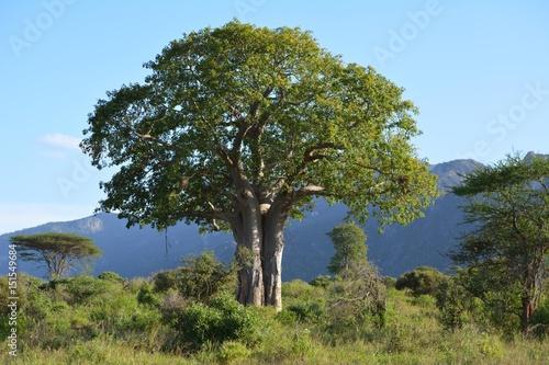 Poster Baobab Kenia Safari