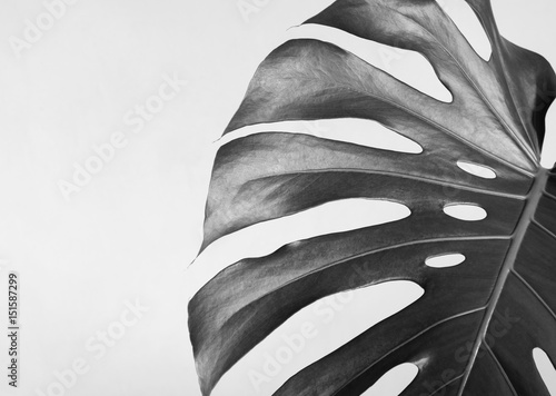 Close-up of the monstera leaf. Abstract composition. Black and white photography.