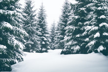 Spruce Trees Covered By Snow. Freeze And Cold Weather. Winter Season.