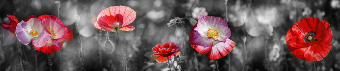 summer meadow with red poppy