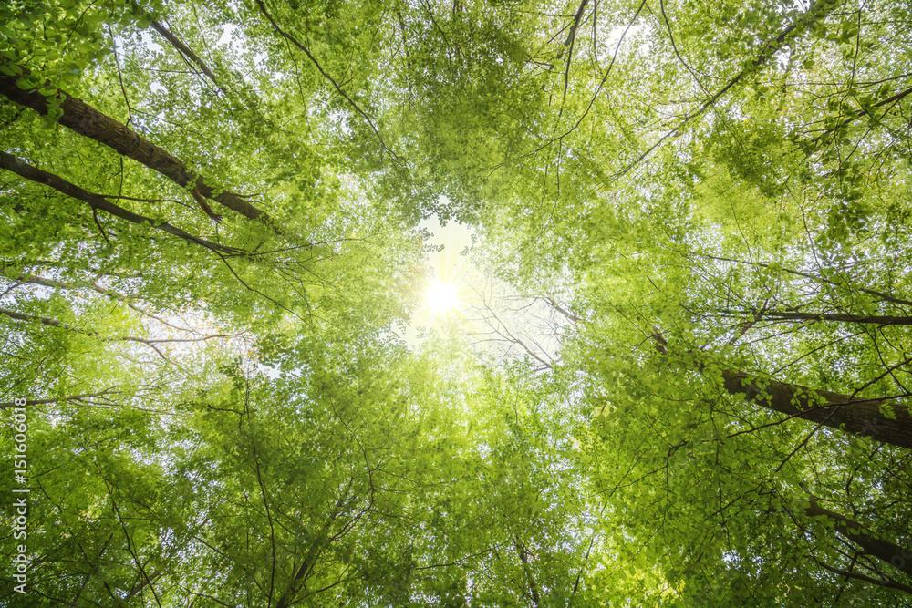 Valokuva  Grüne Baumwipfel von unten im Frühling mit leuchtenden Sonnenstrahlen