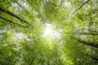 Leinwanddruck Bild - Grüne Baumwipfel von unten im Frühling mit leuchtenden Sonnenstrahlen