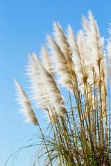 FototapetaNew Zealand native grass plant - Toitoi or Toetoe