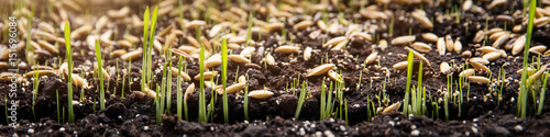 Fototapeta Konzept Säen, Saat und Samen, Keimlinge wachsen auf Erde obraz