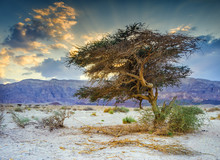 Lonely Acacia Tree In Geologic...