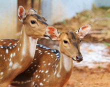 Close Up Two Young Brown Deer