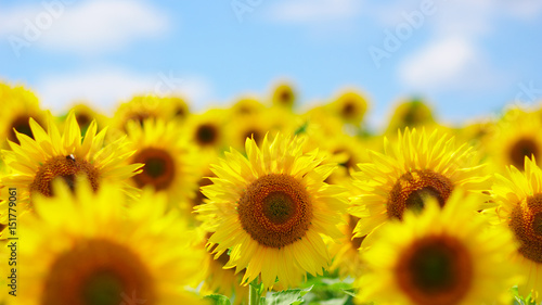 Poster Zonnebloem field of blooming sunflowers