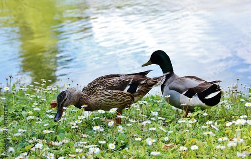 Photo  Couple of duck and drake among daisies in Villa Pinelli-Serra, Comago, Genoa, It