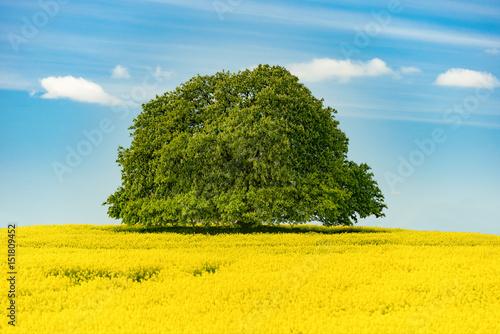 Springtime - Very old chestnut tree in the rape field - 7587