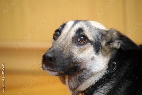 Fotografía  Cute Dog (dog, scared, frightened)