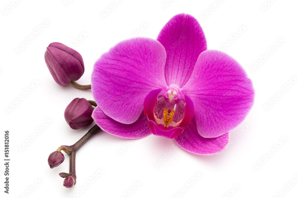 Fototapety, obrazy: Pink orchid on the white background.