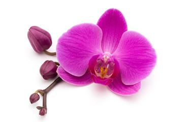 Fototapeta na wymiar Pink orchid on the white background.