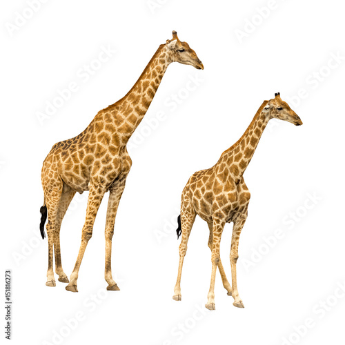 Poster Giraffe Giraffe isolated on white background, seen in namibia, africa