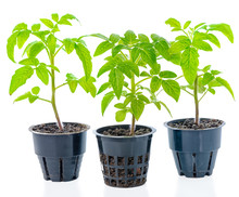 Young Seedling Of Fresh Green Tomato Plants In Flower Pot Is Isolated On White Background, Close Up