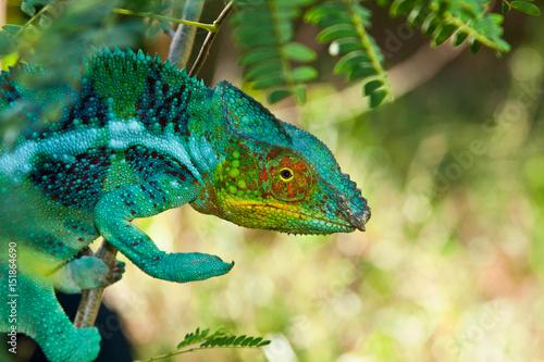 Staande foto Kameleon Panther Chameleon, Madagascar