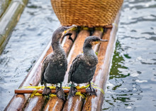 Two Cormorant Resting After Fishing While Sitting On An Ancient Traditional Chinese Bamboo Boat - Li River, Xingping, China