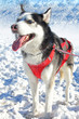 A dog with a big blue eyes, standing on the snow, sticking out its tongue and breathing heavily.