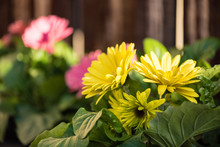 Close Up Of Pots Of Yellow And Pink Gerbera Daisies Outside.