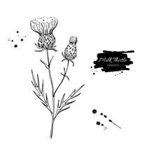 Milk Thistle Flower Vector Dra...