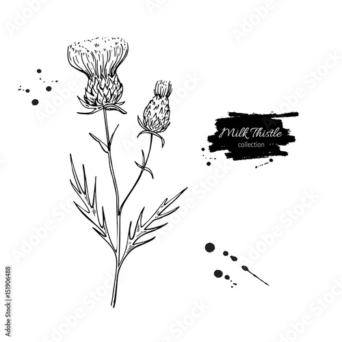 Fotografie, Obraz Milk thistle flower vector drawing set