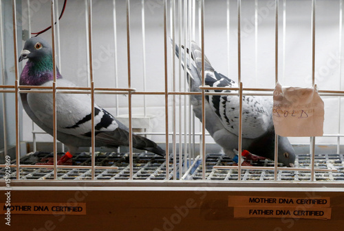 Racing pigeons with a DNA certified label are displayed for