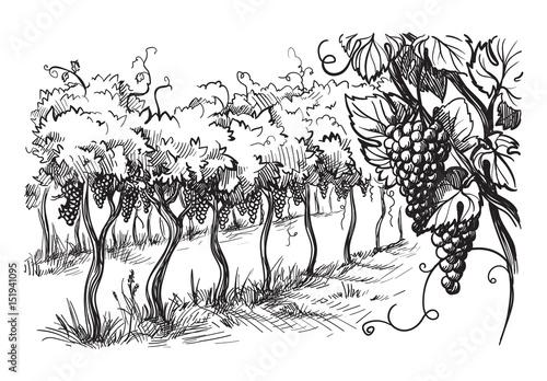 Fototapeta winnica   rzedy-winnic-winogron-w-stylu-graficznym-recznie-rysowane-ilustracji-wektorowych