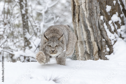 Fototapeta premium Bobcat In The Snow