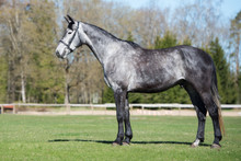 Young Gray Horse Standing On A...