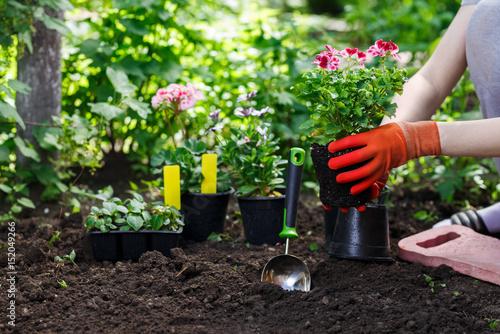 Fototapeta Gardeners hands planting flowers in the garden, close up photo obraz na płótnie