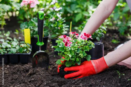 Fotografía Gardeners hands planting flowers in the garden, close up photo
