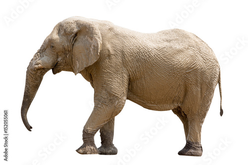 Canvas Prints Elephant Elephant standing isolated on white background, seen in namibia, africa