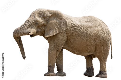 Photo  Elephant standing isolated on white background, seen in namibia, africa