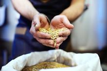 Light Beer Malt Close-up In Male Hands. Brewing