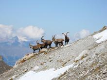 Steinbock Gruppe Im Geröllhang Nähe Davos In Den Schweizer Alpen