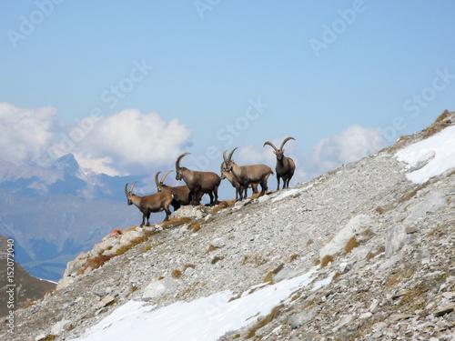 Fotografia  Steinbock Gruppe im Geröllhang nähe Davos in den Schweizer Alpen