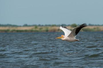 Fototapeta na wymiar Pelicans flying