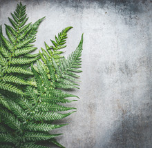 Green Fern Leaves On Gray Rustic  Concrete Background , Top View, Place For Text.