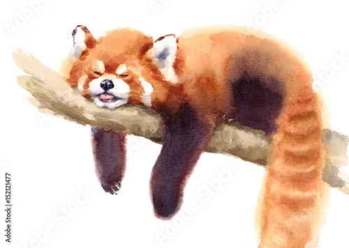 Fototapeta premium Watercolor Red Panda Sleeping on the Branch Hand Drawn Animal Illustration isolated on white background