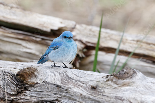 Male mountain bluebird Tapéta, Fotótapéta