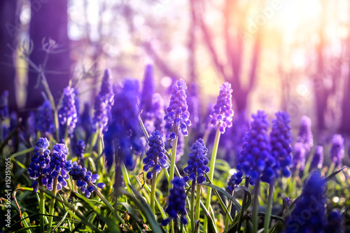 Foto op Aluminium Snoeien Muscari neglectum flowers illuminated by sunset light in the park. Close-up of a spring flowers.