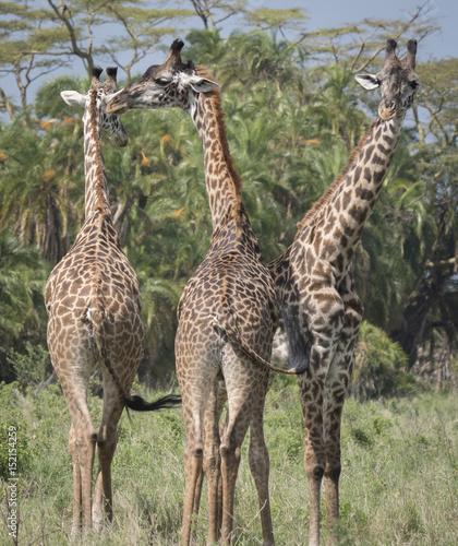 Fotografering  Giraffe Trio