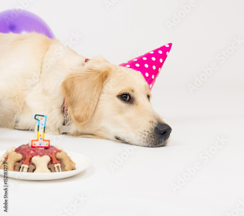 Golden Retriever Dog With Balloons On Birthday Party Buy This