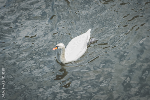 single swan in water from above