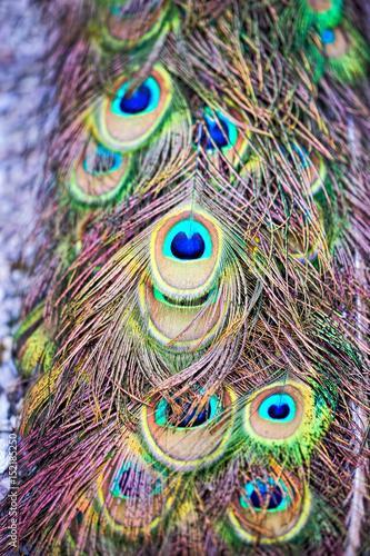 Foto op Aluminium Pauw Peacock feather