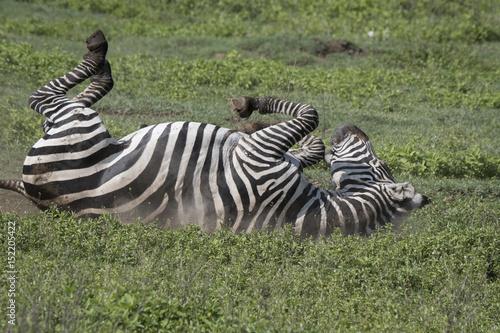 Photo  Rolling Zebra